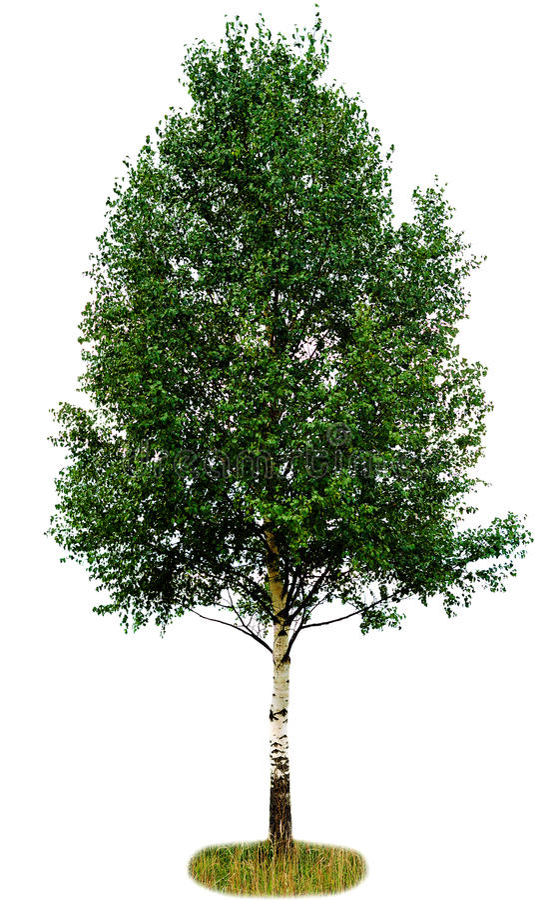 Single birch tree. Isolated on white background stock photo