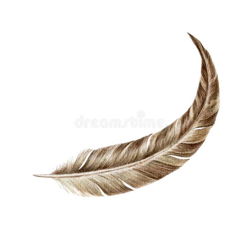 Single bird feather close up watercolor illustration. Hand drawn floating natural quill. Brown bird feather soft element, isolated vector illustration