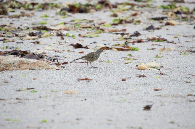 single bird pipit meadows in profile color on the beach in the morning in summer on white background stock image