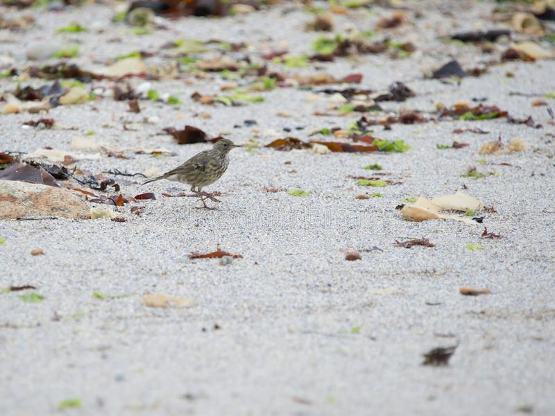 single bird pipit meadows in profile color on the beach and on the sand royalty free stock image
