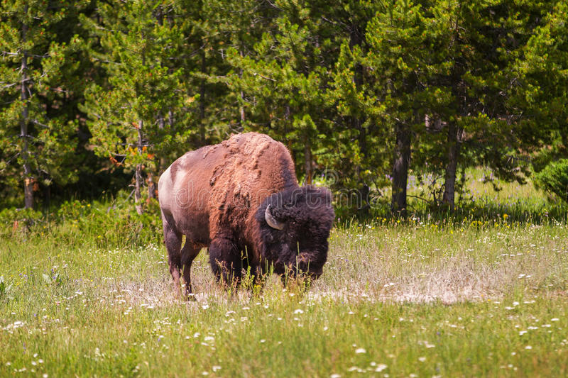 Single Bison Grazing in Yellowstone National Park. United States stock image