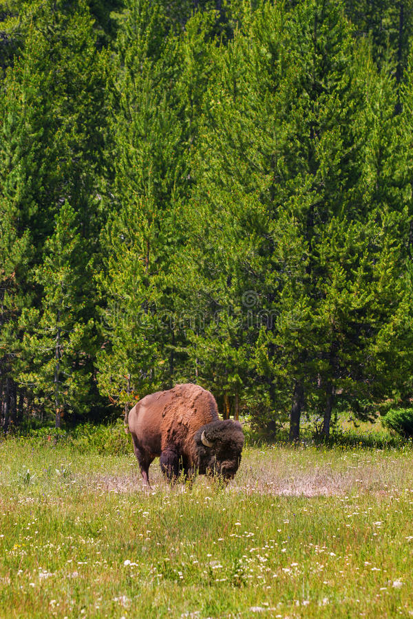 Single Bison Grazing in Yellowstone National Park Vertical Orientation. Single Bison Grazing in Yellowstone National Park, United States stock photography