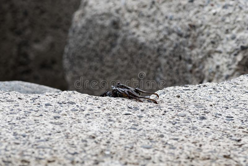 Single black crab crawling on the edge of a cement block. This photo is taken on Madeira, Portugal royalty free stock photo