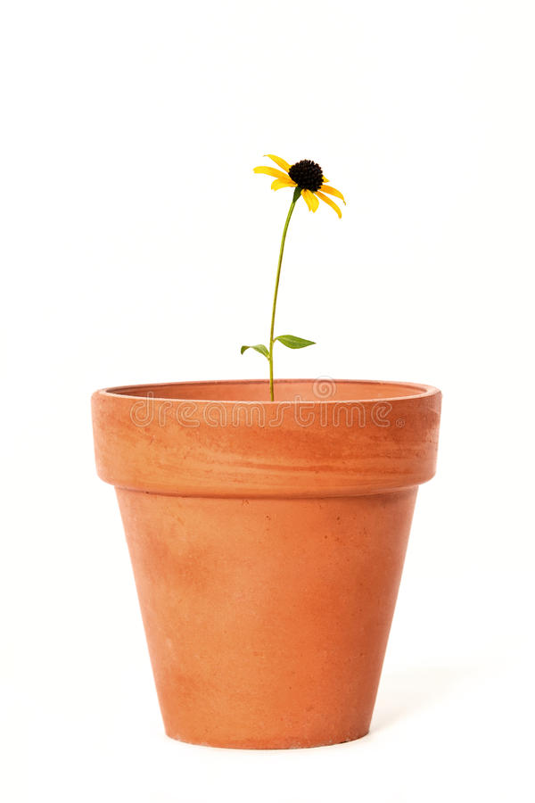 Single Black-Eyed Susan in Old Terra Cotta Flower Pot. A lone Black-Eyed Susan flower (Rudbeckia hirta) in a very old Terra Cotta flower pot royalty free stock photography