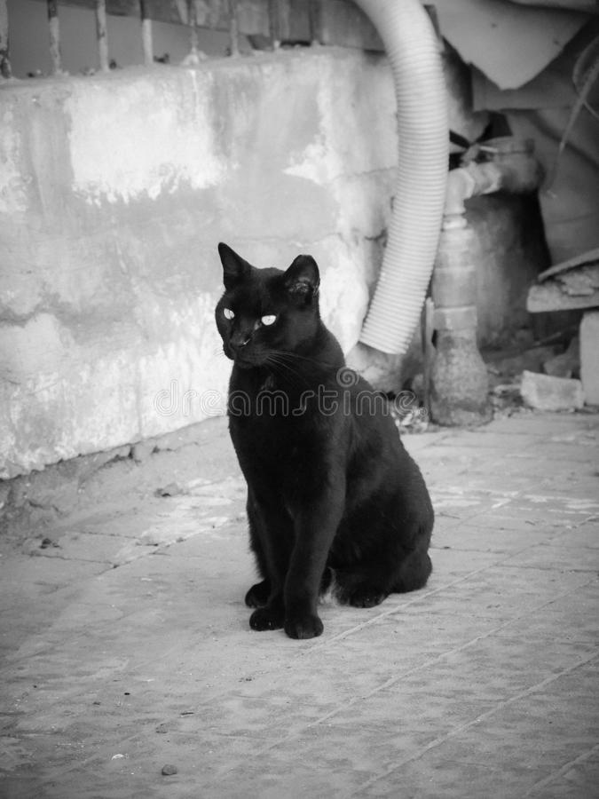 Single black graceful cat, standing on pavement outdoors stock images