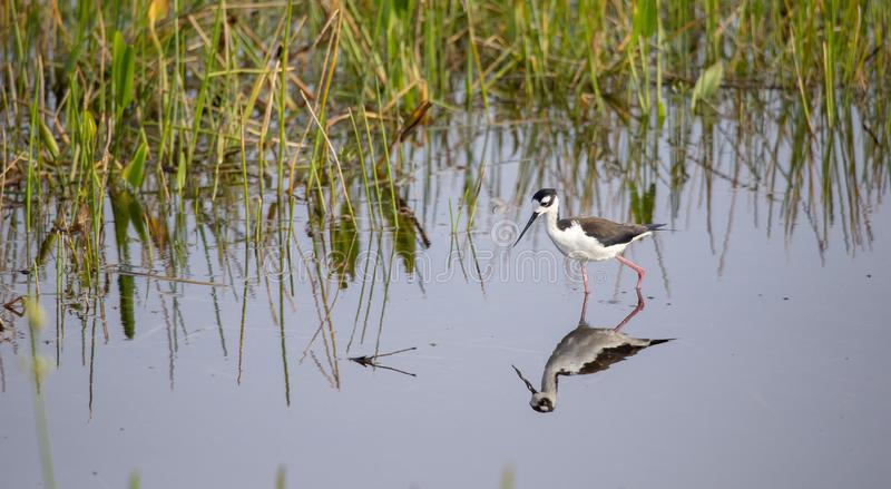 Black-necked stilt Himantopus mexicanus stock image