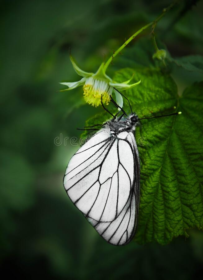 Single black and white butterfly on green background stock photography