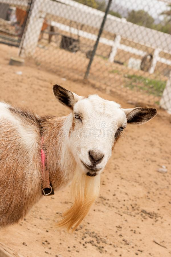 Single black, white and tan, bearded, blue eyes Nigerian dwarf pet goat, entering frame from the left, looking at camera with gent. Le inquisitive smile on face stock photo