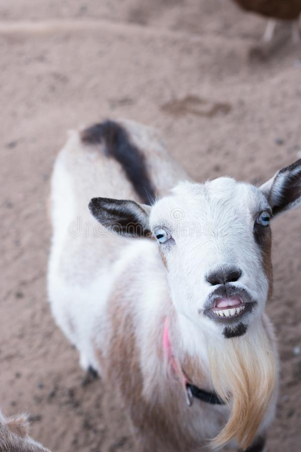 Single black, white and tan, bearded, blue eyes Nigerian dwarf pet goat looking up at camera with evil grin showing teeth, humorou royalty free stock images