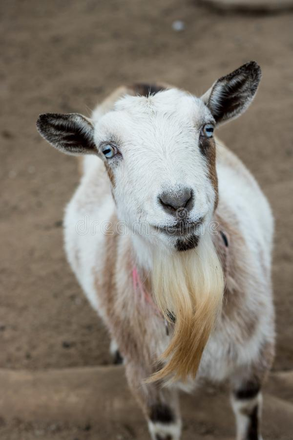 Single black, white and tan, bearded, blue eyes Nigerian dwarf pet goat looking up at camera with gentle smile on face, vertical f royalty free stock images