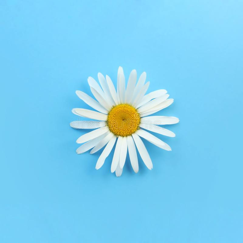 Single blooming daisy on blue. Background royalty free stock images