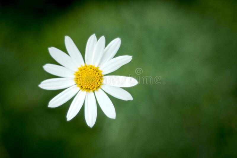Single blooming daisy flower royalty free stock image