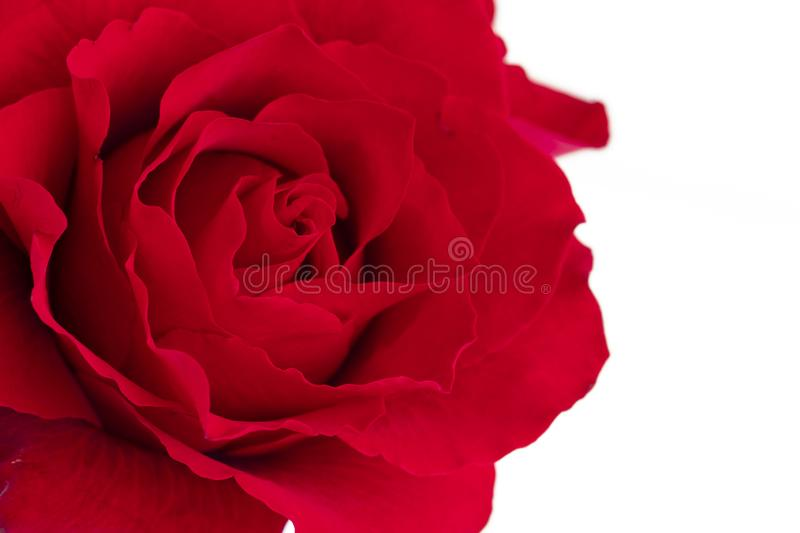 A single blooming red rose. Closeup, isolated on white background stock images