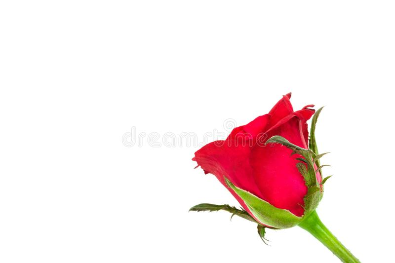 Single blooming red rose. Isolated on white background royalty free stock images