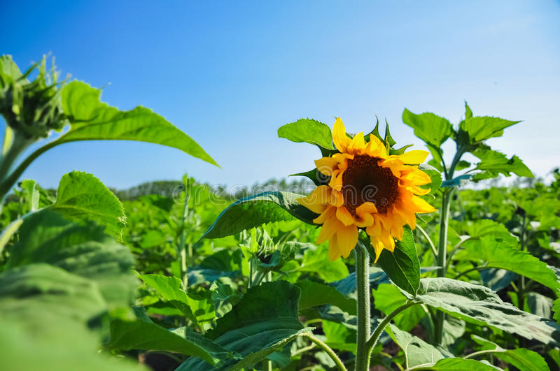 Single blooming Sunflower in the field of green in wonderful sunny summer day at background of blue sky. stock images