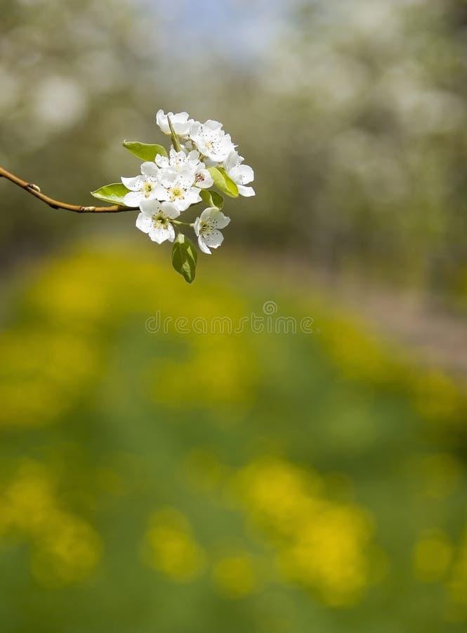 Single blossom. Fruit tree blossom in orchard stock photos