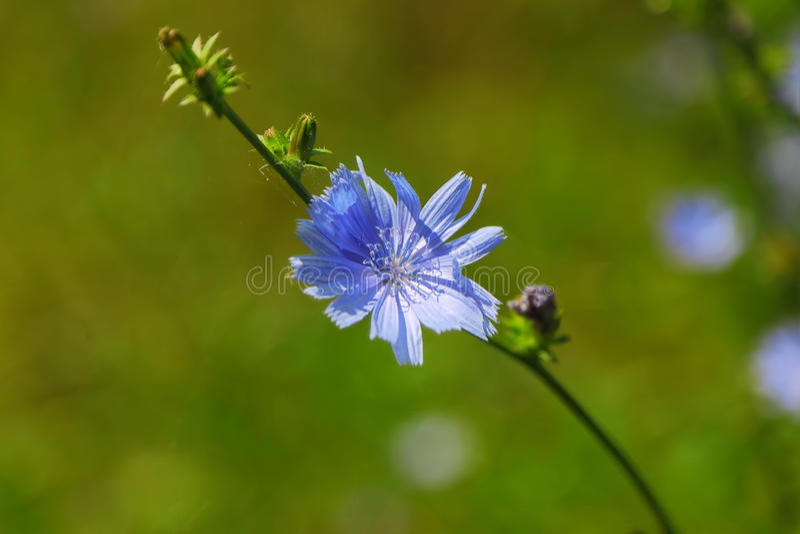 Single Blue Chicory Flower stock photos
