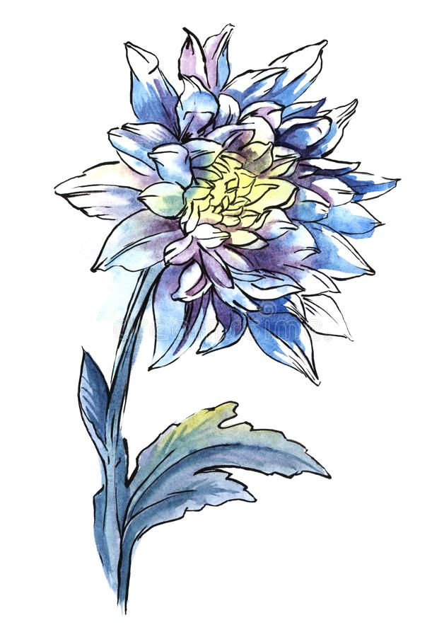 Single blue chrysanthemum on thick stalk with carved leaves isolated on white background. Watercolor hand drawn iimage. Single blue chrysanthemum on thick stalk stock photography