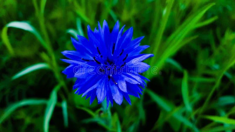 Single blue flower stock photos