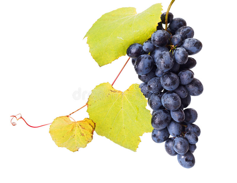Single blue grape cluster with leaves royalty free stock images