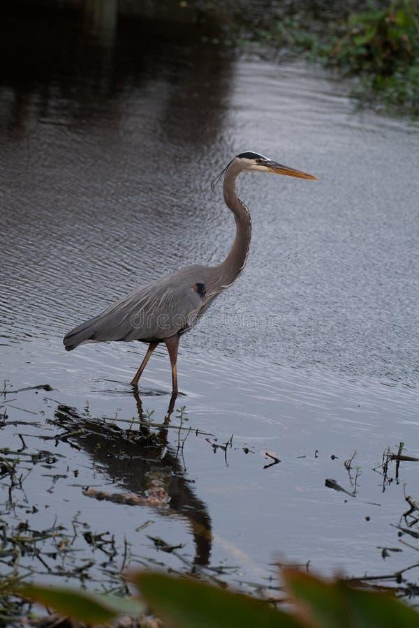 Blue heron strolling through water stock image