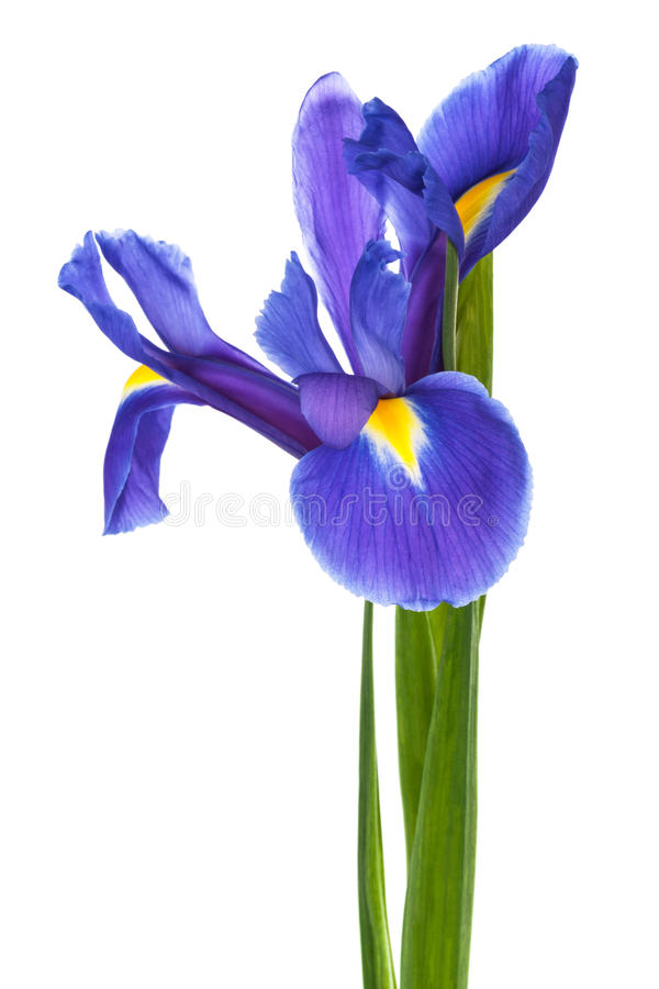 Single blue iris. On a white background stock image
