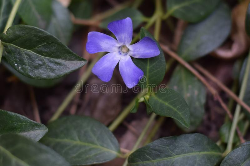Single Myrtle Bloom. Single blue myrtle bloom and surrounding green leaves and branches. Vinca, periwinkle royalty free stock photos