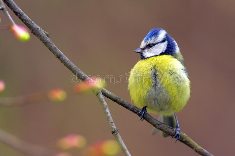 Single Blue tit bird on tree twig in early spring. Single Blue tit bird on tree twig during a spring nesting period stock images
