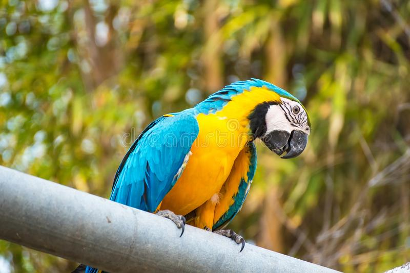 .Single Blue and Yellow Macaw in the Natural background.Thailand royalty free stock photos