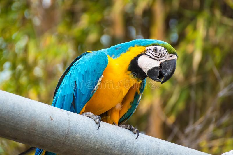 .Single Blue and Yellow Macaw in the Natural background.Thailand stock images