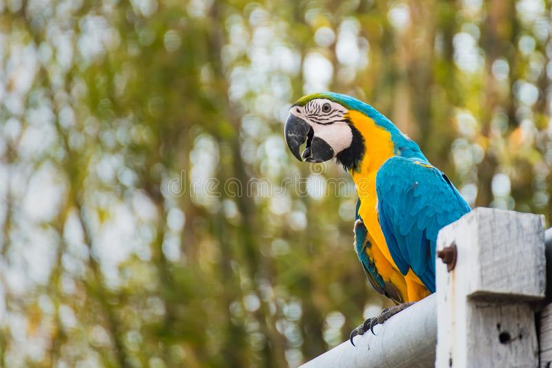 .Single Blue and Yellow Macaw in the Natural background.Thailand royalty free stock image