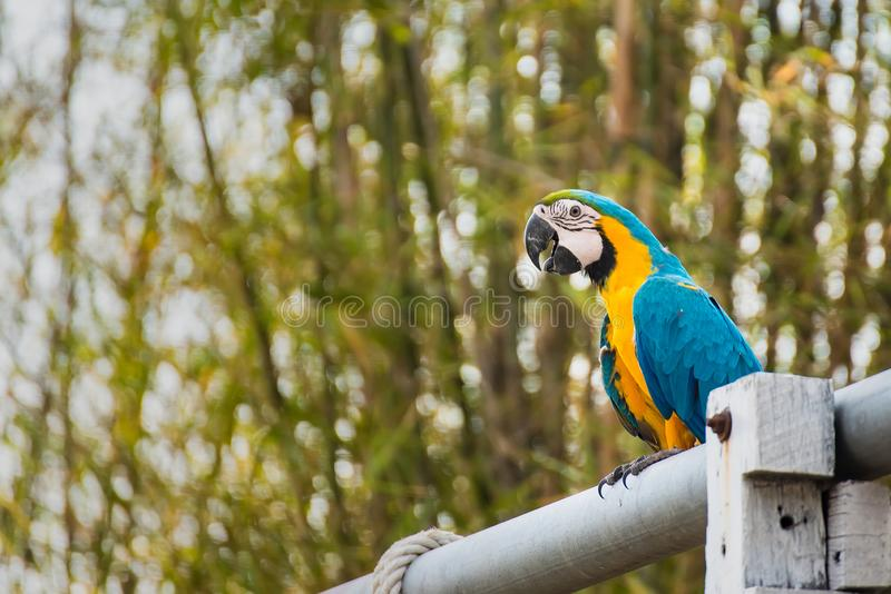 .Single Blue and Yellow Macaw in the Natural background.Thailand royalty free stock photography