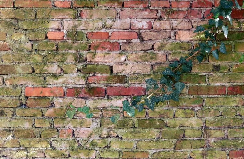 A single branch of ivy go down on an old weathered mossy brick wall stock photography