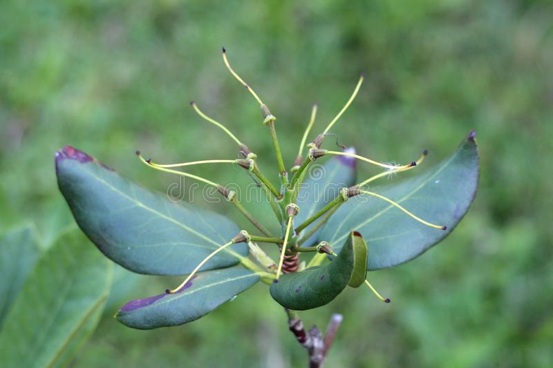 Single branch of Rhododendron woody plant with spirally arranged thick dark green leaves planted in local urban garden royalty free stock image