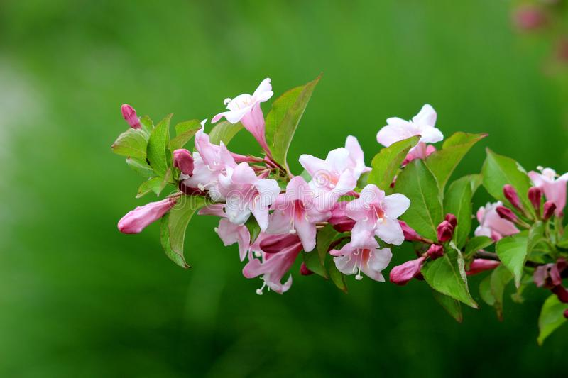 Single branch of Weigela Florida Pink princess hardy plant with rose pink tubular foxglove shaped fully open blooming flowers and stock images