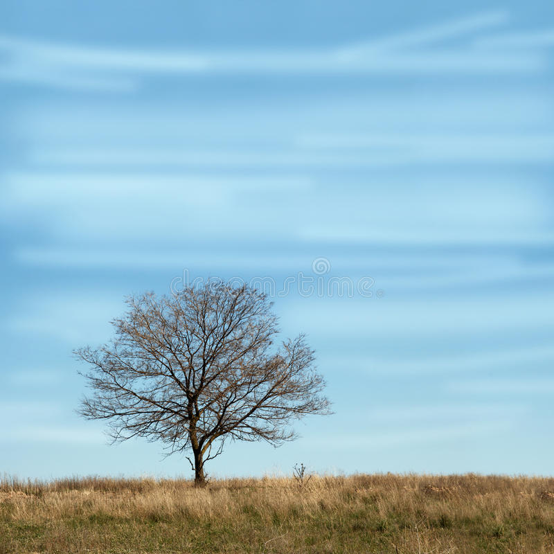 Single branchy tree without leaves in dry field under blue sky. stock photo