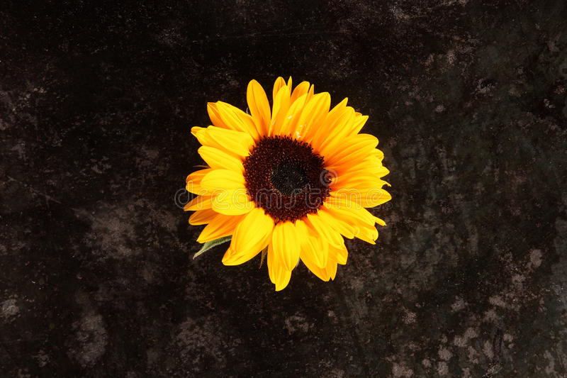 Single bright colorful yellow sunflower stock photos
