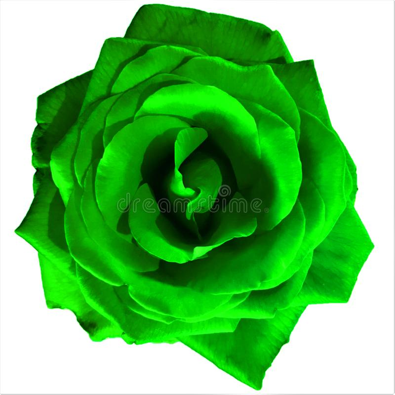 Bright Green Large Rose with white background stock photo
