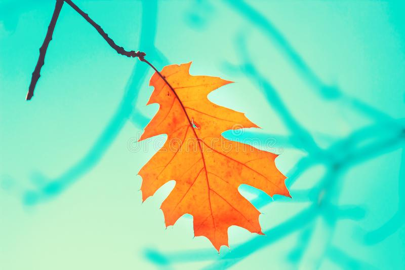 Single bright orange leaf on tree over blue sky in autumn. Seasonal background stock image