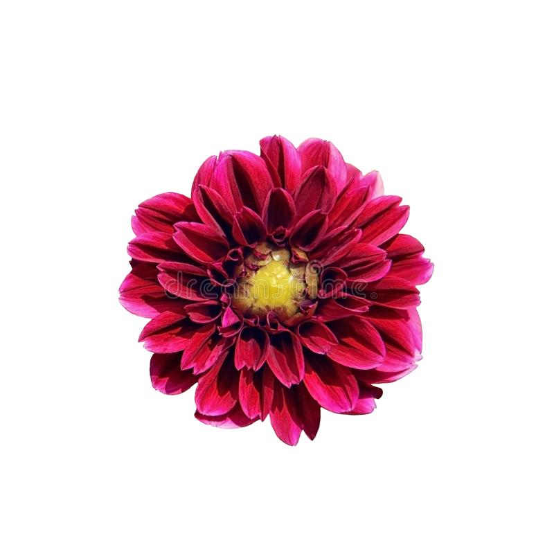 Single bright pink Dahlia flower isolated on white background. Close-up, top view. A beautiful purple flower with a yellow middle royalty free stock images