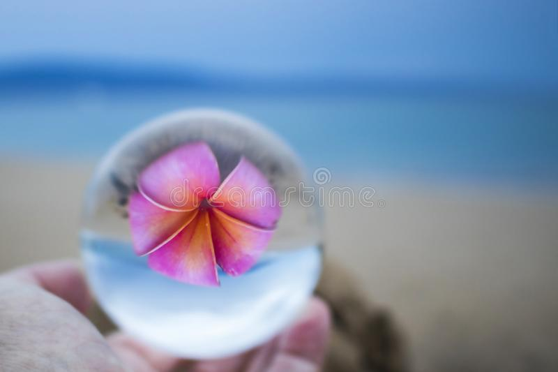Single Bright Pink Plumeria Flower with Sand Beach and Ocean Cap stock photo