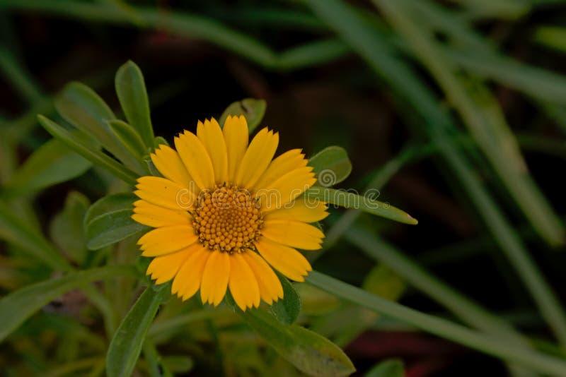 Single bright yellow garden marigold flower - calendula officinalis stock image