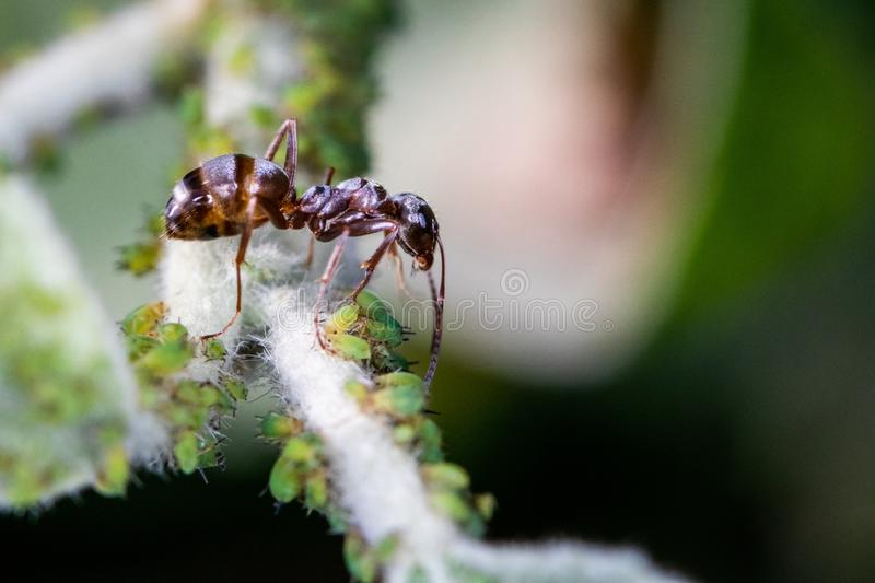 A single brown ant over a group of green aphids greenflies - macro shot, close-up royalty free stock photography