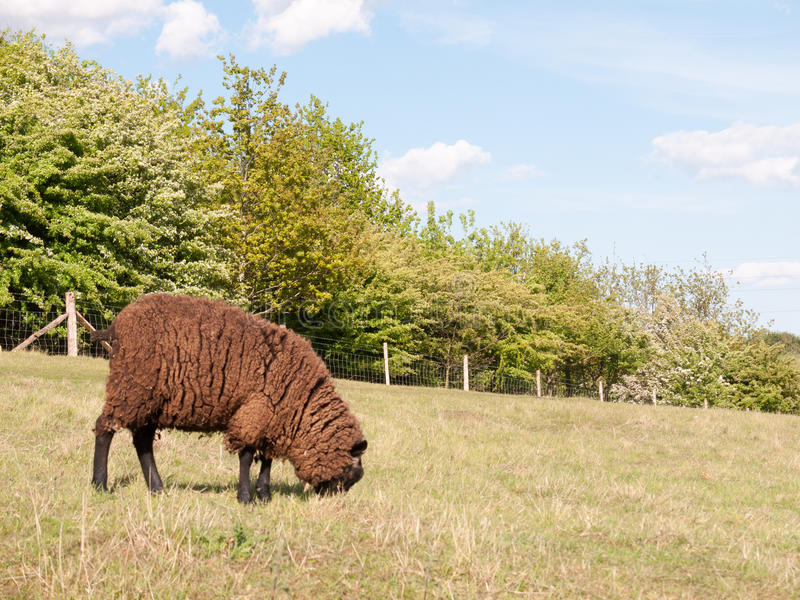 a single brown coated sheep in a field in the countryside in dedham essex of england in the uk by itself eating and relaxing on t stock photos
