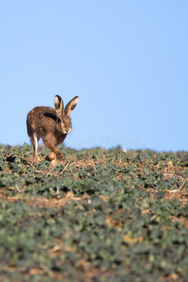 Single Brown Hare Lepus europaeus running towards camera, on t stock photos