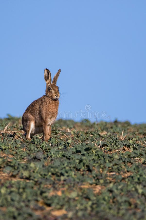 Single Brown Hare Lepus europaeus sitting on the skyline royalty free stock image