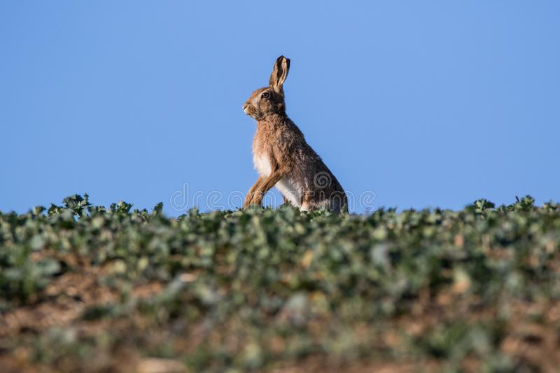 Single Brown Hare Lepus europaeus standing on hind limbs in pr stock photography
