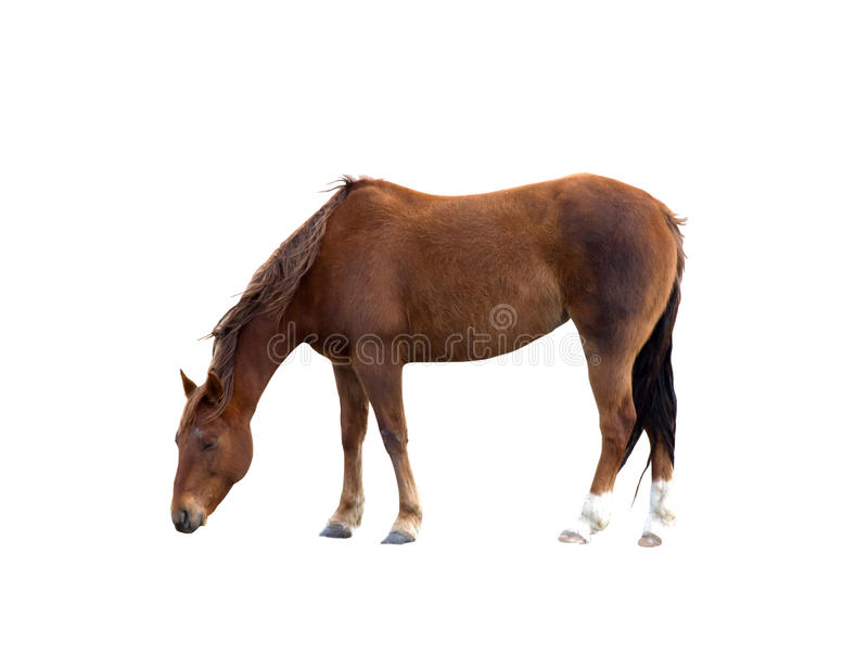 Single Brown Horse Grazing Isolated Clipping Path royalty free stock images