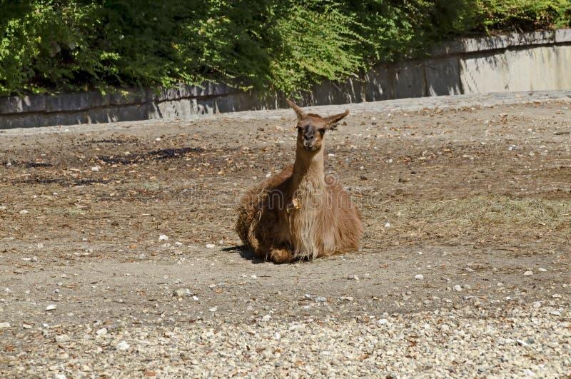 Single brown llama resting away in farmyard stock photos