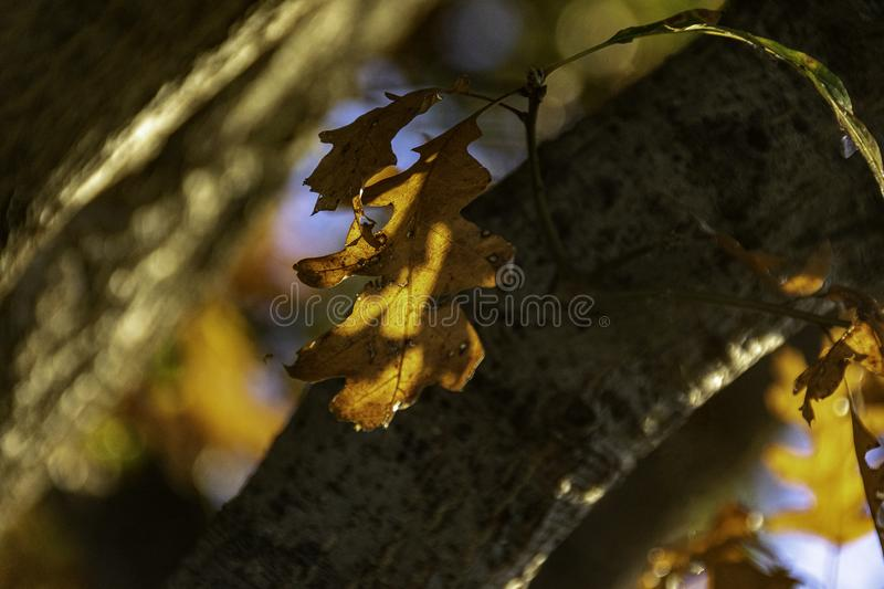 A Single Brown Oak Leaf Backlit by the Setting Autumn Sun stock photography
